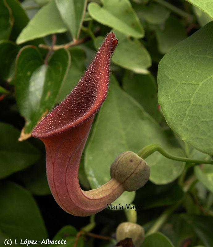 Aristolochia Baetica.