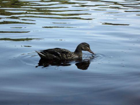 IMG_0097-duck-water-s
