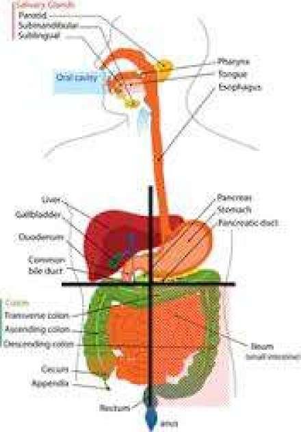 imagesZZALC40B.jpg liver - Hepatic Toxicity in the development of diseases.