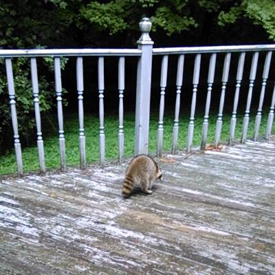 RaccoonRear