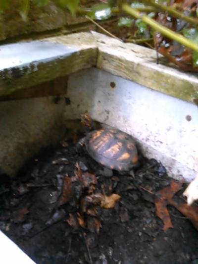 tortoiseshell on tortoise