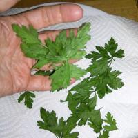 parsleydry