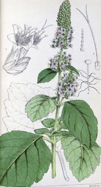 Ingeniørfruen-om-pautchouli-i-aromaterapien