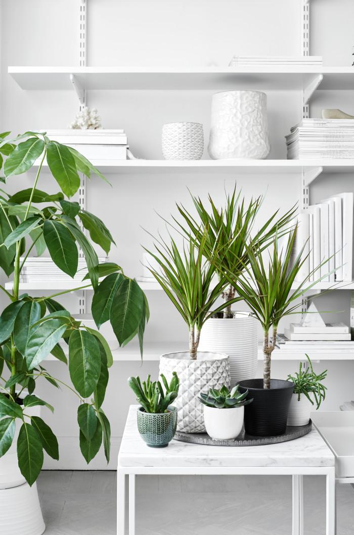 INTERIØRTIPS Grønne planter for god helse - Dracaena