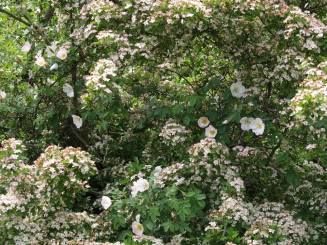 wild roses #StopMoorside