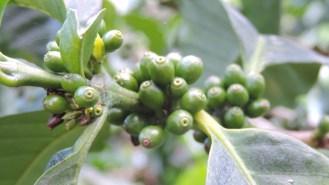 Inicia el llenado de grano y la época de mayor estracción de nutrientes de la planta de café.