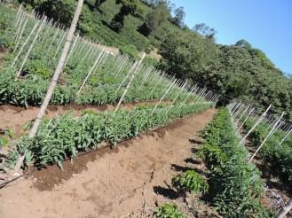 Siembra de café en asociación con tomate con sistema de riego por goteo. Coffee and Tomate w/drip irrigation system.