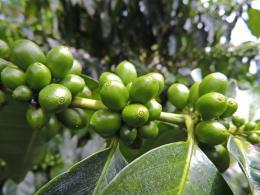 Llenado del fruto del café - 100 días después de floración