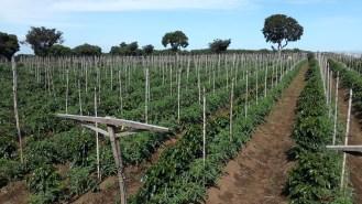 Cultivo en asocio (Intercropping)