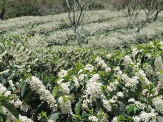 Flowering season