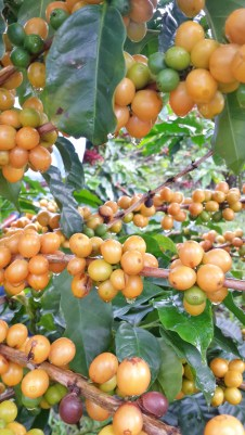 Catuaí Amarillo - Finca La Hilda, Grupo Santa Eduviges, Costa Rica