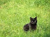 черная кошка на поляне