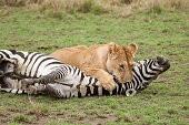 раненая зебра