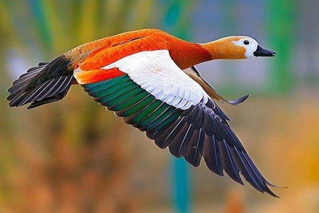 Pato de colores