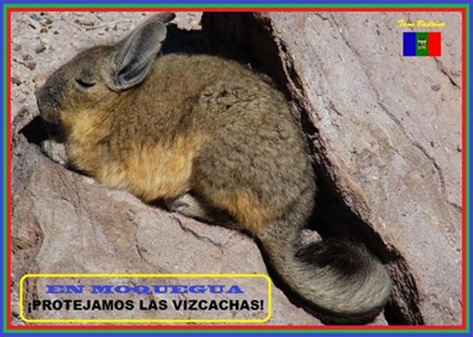 Vizcacha-1