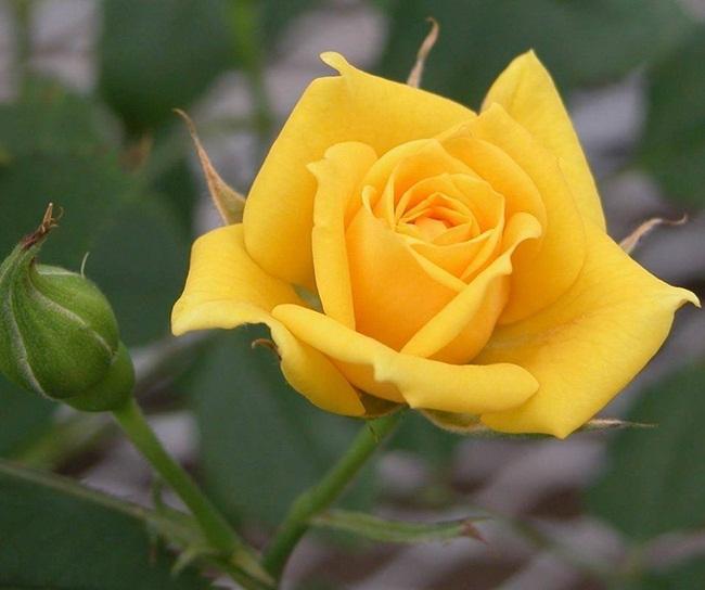 rosa-rara