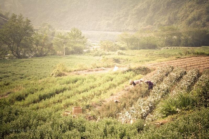 tea camp anhui