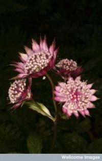 Flores Astrantia