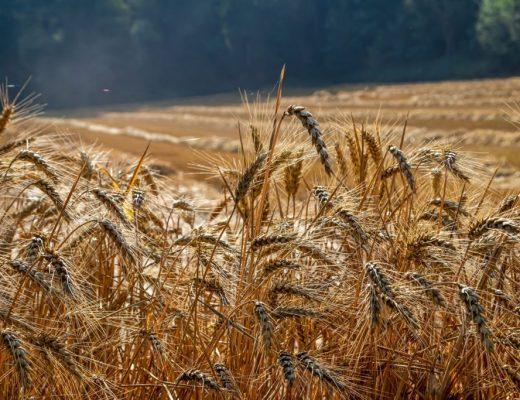Empreinte-carbone-alimentation-champ-blé