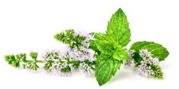 Phytotherapie-Herboristerie-Sante-Naturelle-Menthe-Poivree