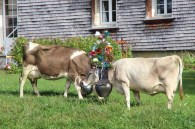 Cows during the désalpe