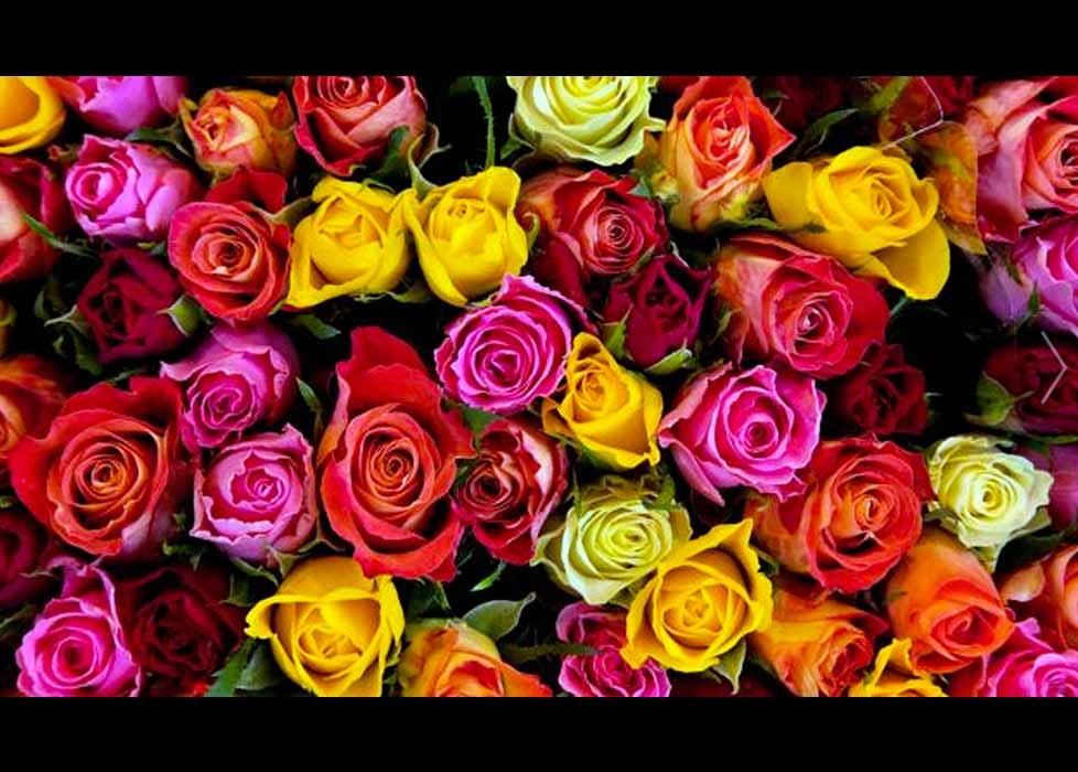 Significado de las rosas segn su color  Mariela TV