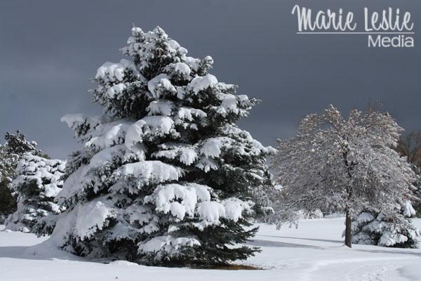 ©Marie Leslie, pine tree, snow