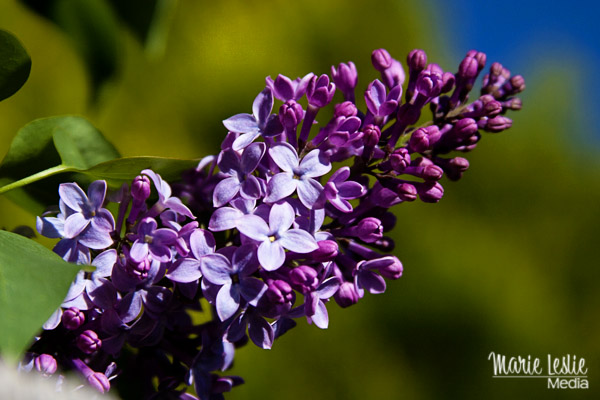 lilacs, photography
