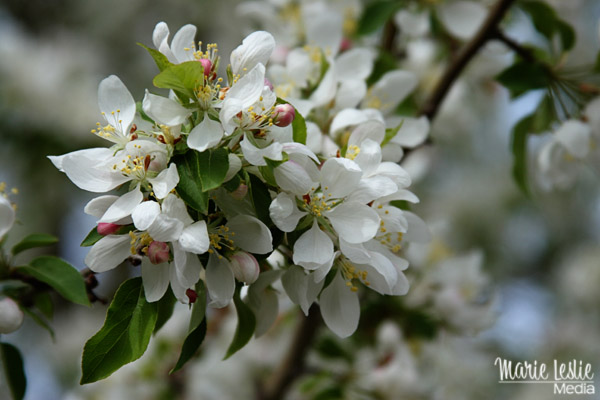 white blossoms, spring flowers