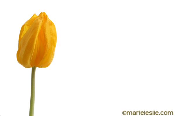single yellow tulip--how to photograph flowers
