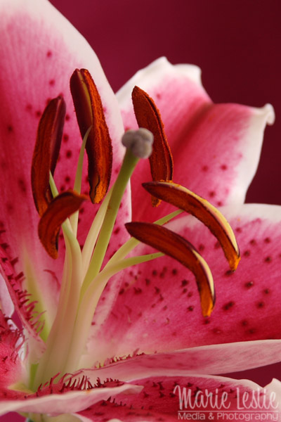 spring flower photography daylily