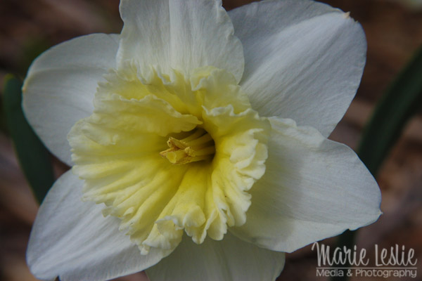 flower photography daffodil