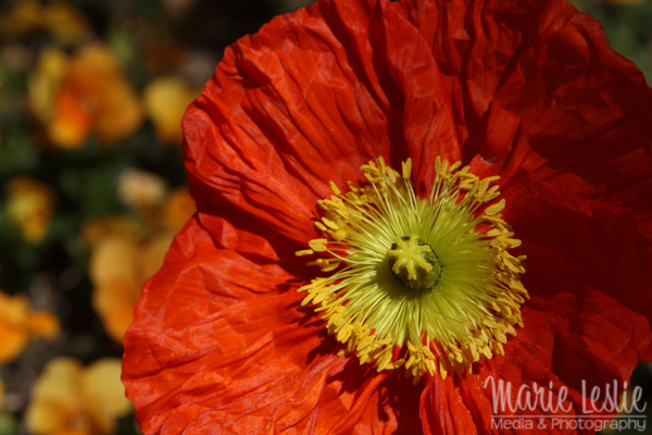 flower photography icelandic poppy
