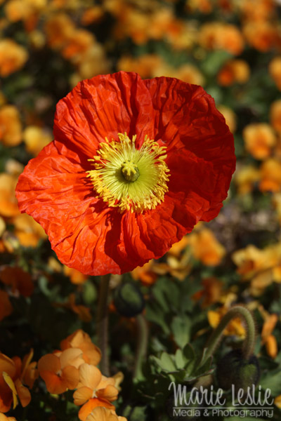 flower photography orange icelandic poppy