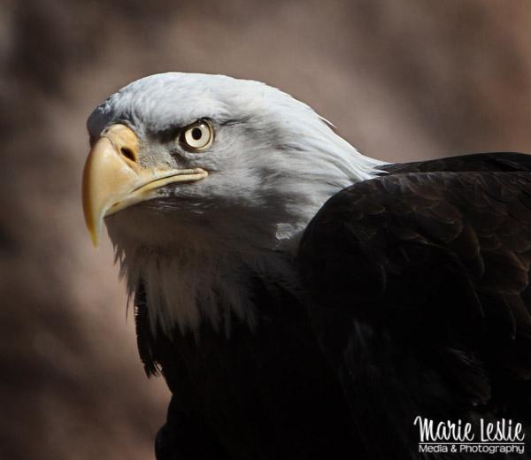 Eagle Eyed bald eagle