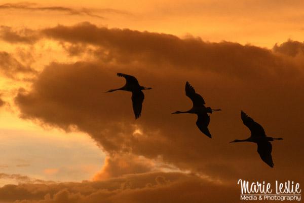 Sunset flight three birds flying into a golden sunset