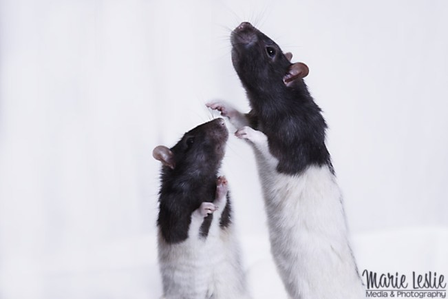 Techniques for Better Pet Photography--photographing pet rats