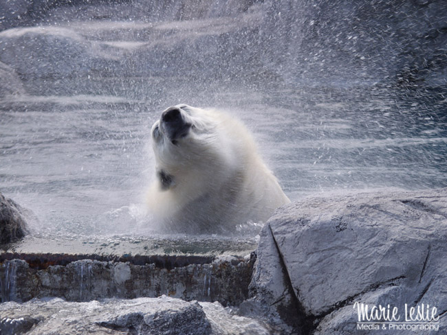 photographing polar bears at the zoo