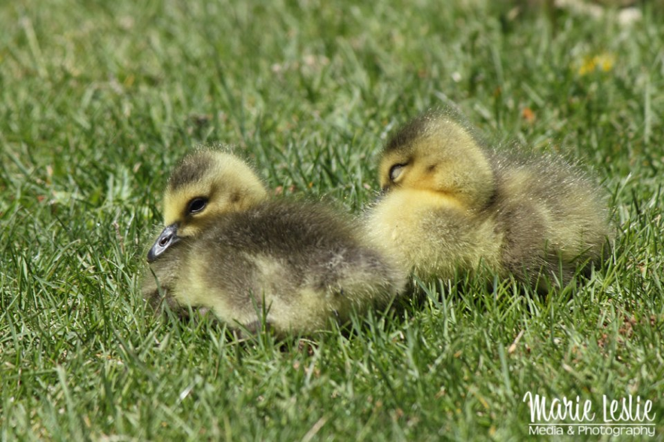 baby geese, baby birds--gosling photography
