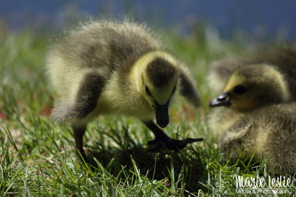 cute baby goose photography