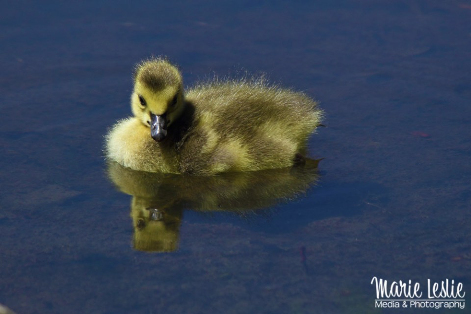 swimming baby canada goose