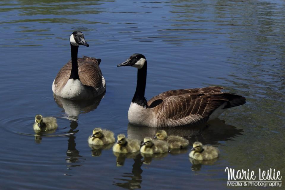 Canada Goose family, goose babies