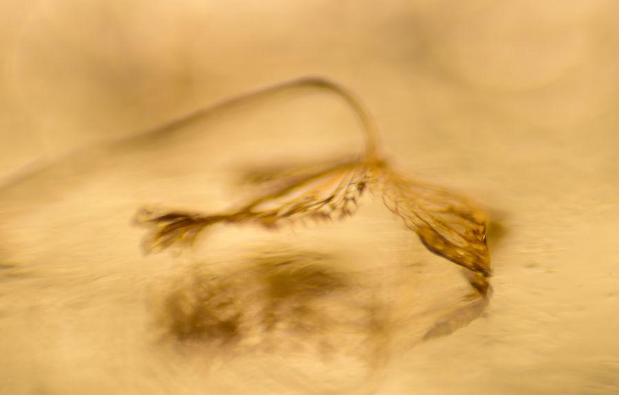 blaadje-hortensia