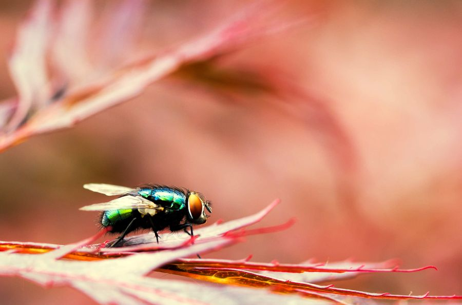 groene-vleesvlieg-insect
