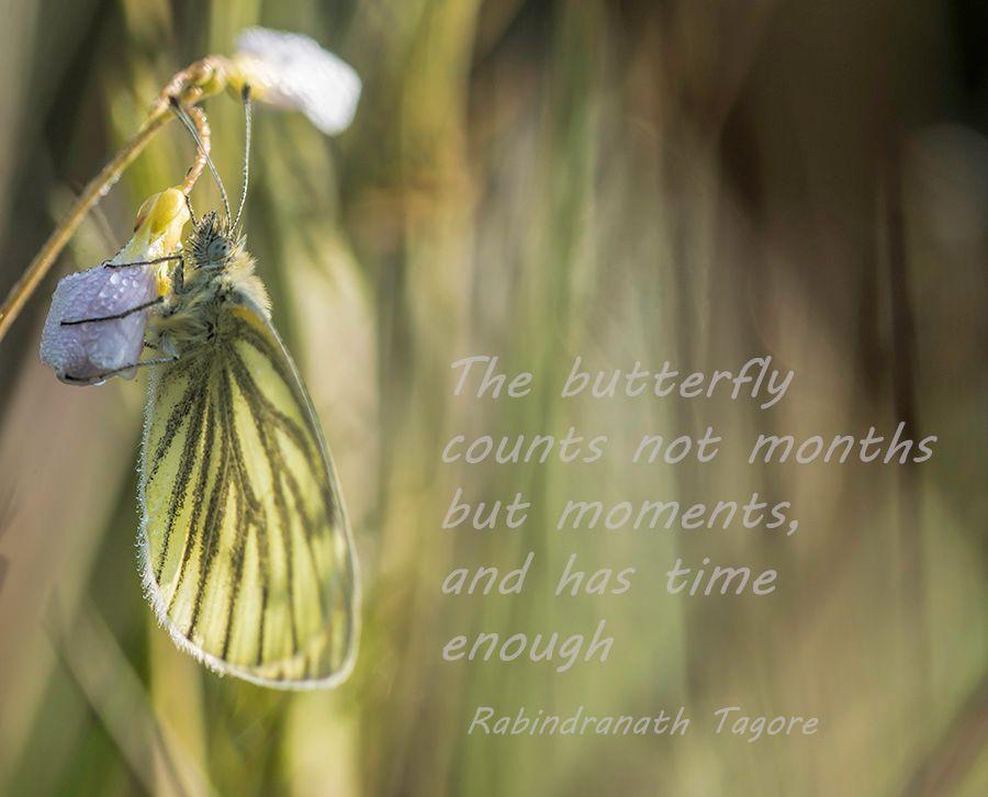 butterfly-vlinder-klein-geaderd-witje