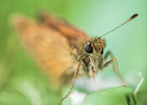 groot-dikkopje-vlinder