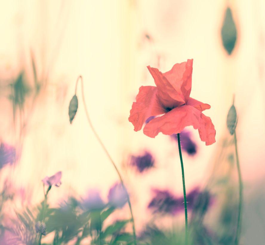 klaproos-pastel-bloem
