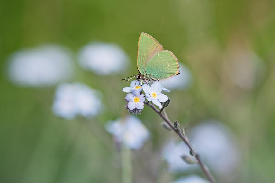 groentje-vlinder-dagvlinder-callophrys -rubi