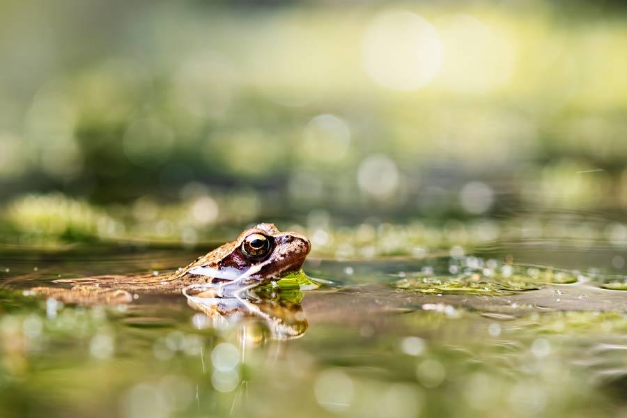 bruine-kikker-frog-vijver