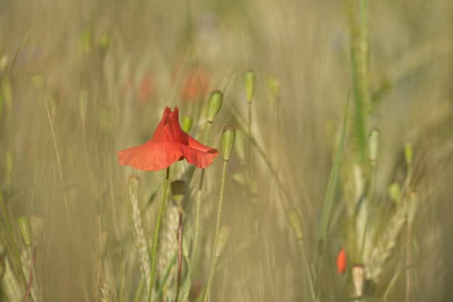 klaproos-bloemenveld